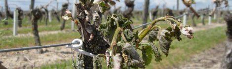 Les vignes durement touchées par la gel